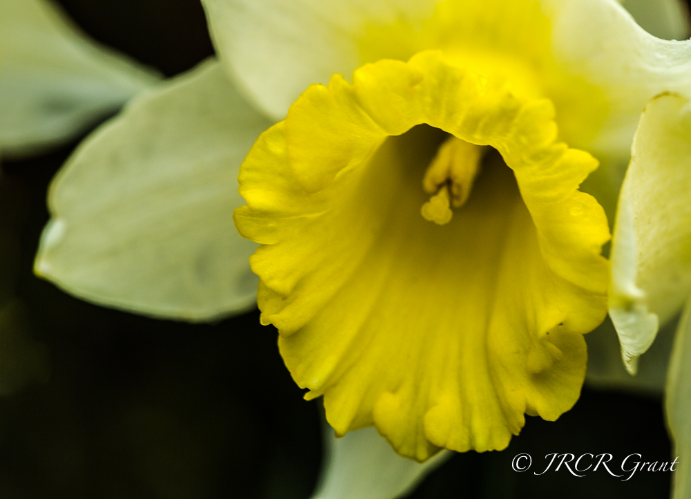 Daffodil in February, Ireland