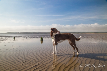 The Hound looks over his shoulder at the dunes where a hare lay somewhere