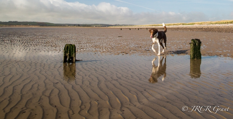 The Hound runs through water on the sand
