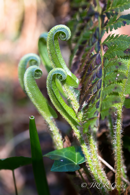 Ferns start to unfold in the spring sunshine