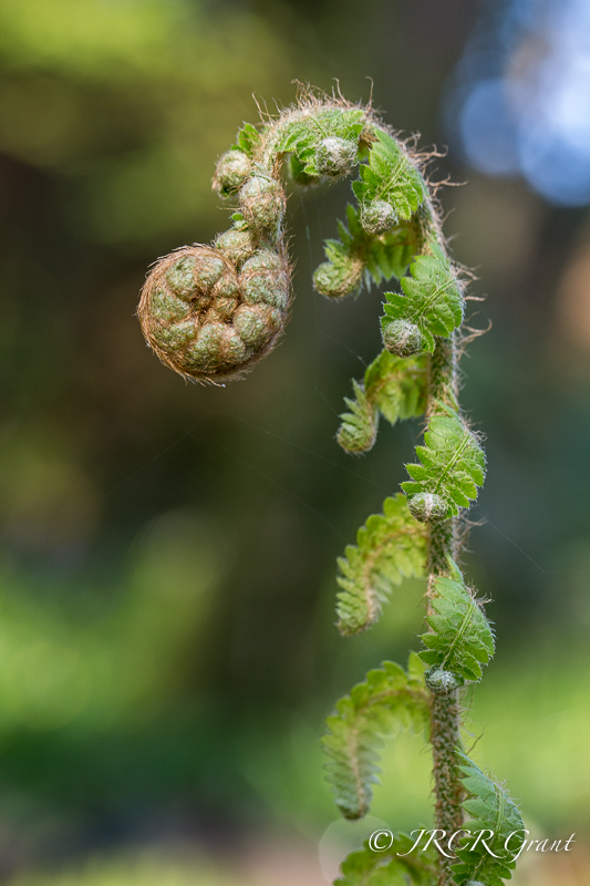 A young fern uncoiling, new leaves to the fore