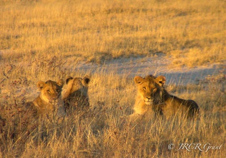 Lions in Etosha Park, Namibia