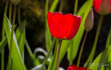 Bright red tulip lit by sun