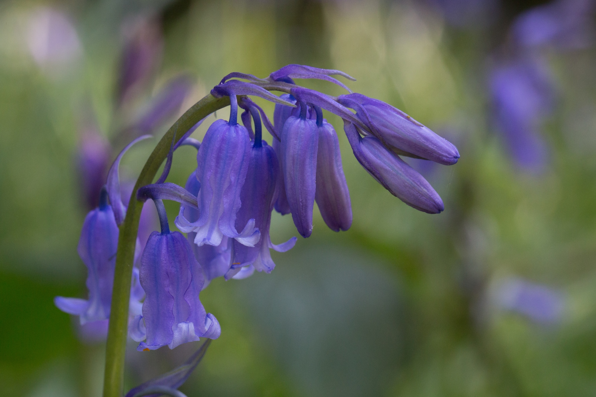 The delicate bells of the bluebell flower in a wood outside of Cork