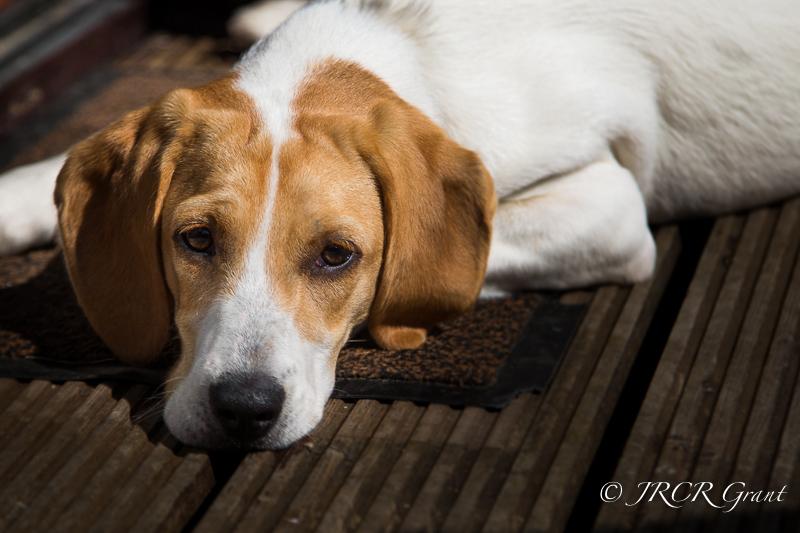 Beagle head down