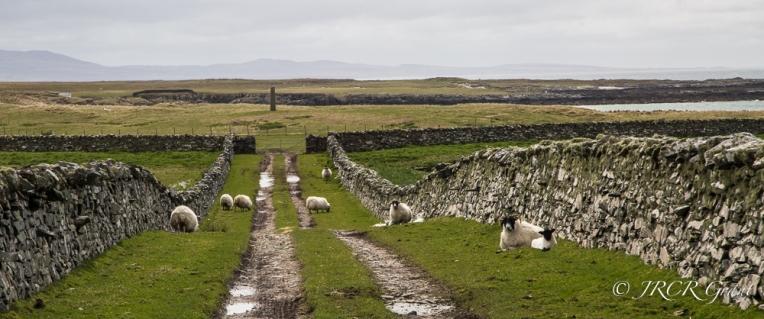 Standing Stone & Sheep
