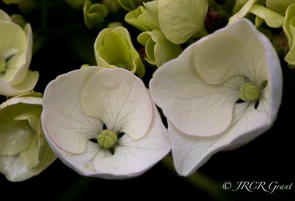 Hydrangea flower buds