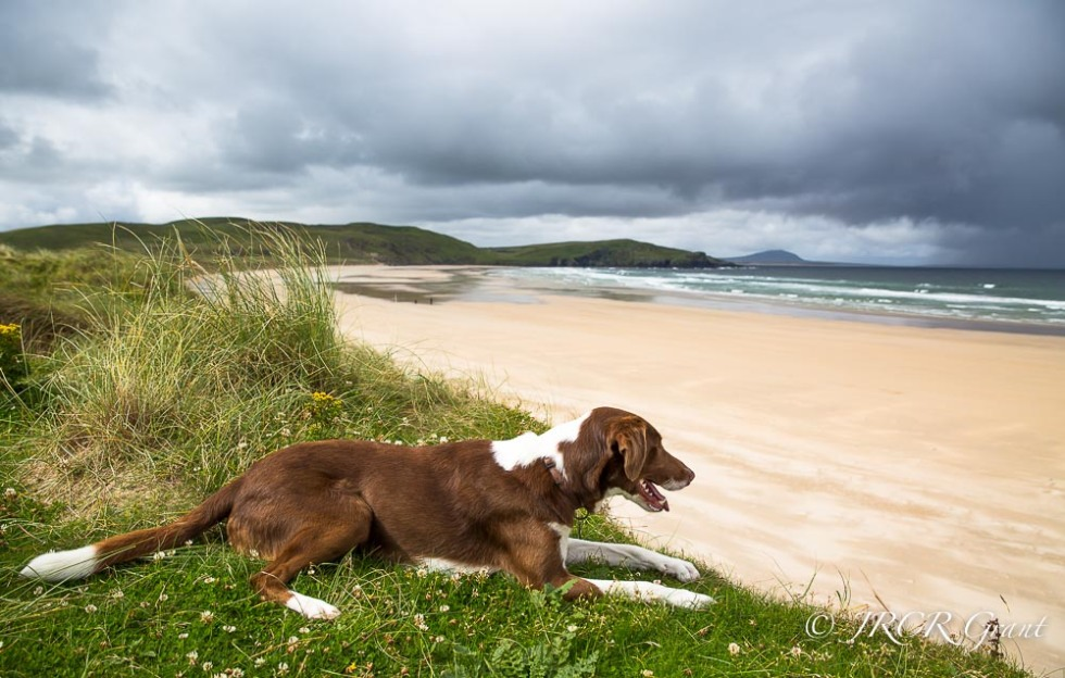 Beautiful dog perches above a deserted sandy beach in County Donegal, Ireland