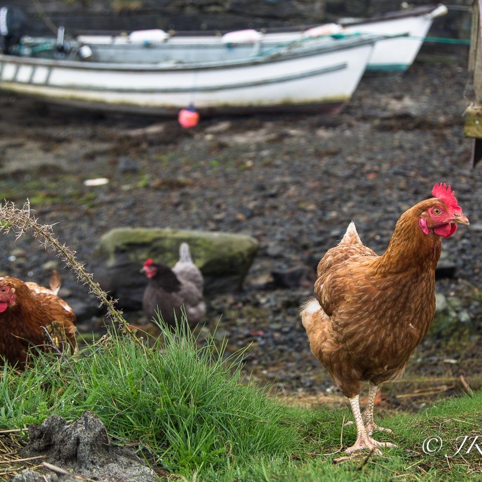 Chickens Roam the Beach