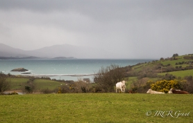 A storm approachs in Bantry Bay as cows on Whiddy Island take for cover
