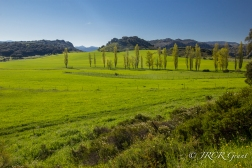 Poplar Trees break up a green plain