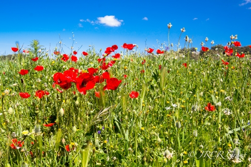 Poppies, Daisies and other flowers brighten a meadow