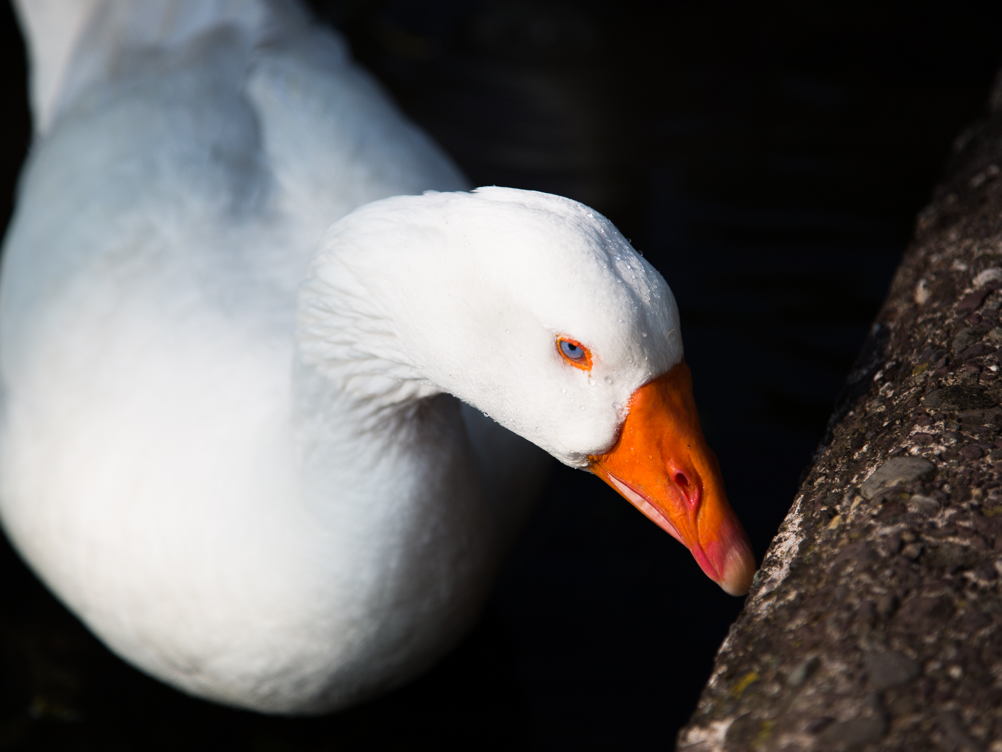 A white duck with sparkling blue eyes