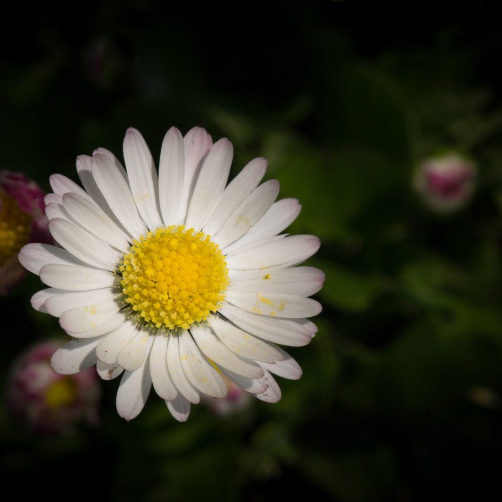 Daisy in the Park