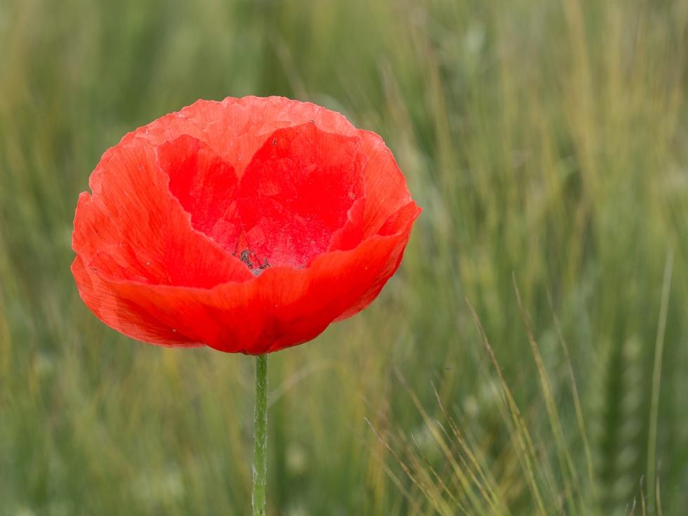 Poppy in a field of Corn, Picardy