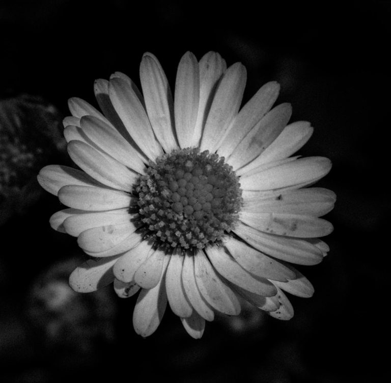 Black and white image of a daisy