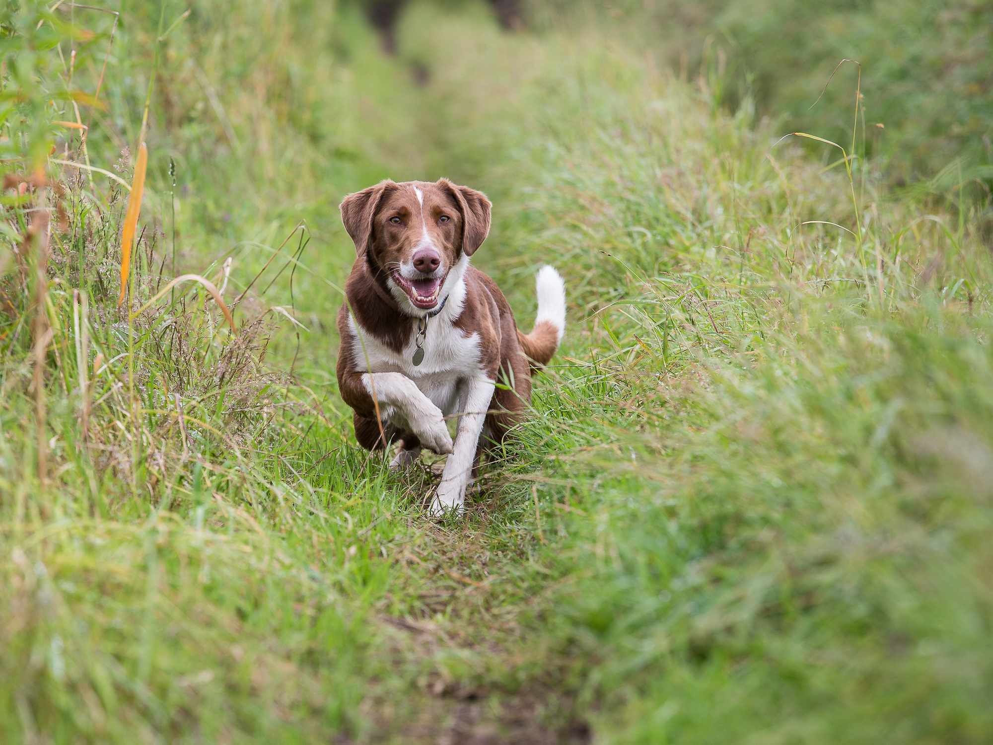 The Hound in the long grass, accelerates towards its target