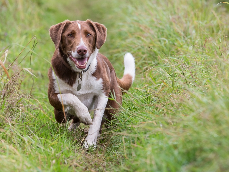 Mongrel Hound launches himself from the long grass