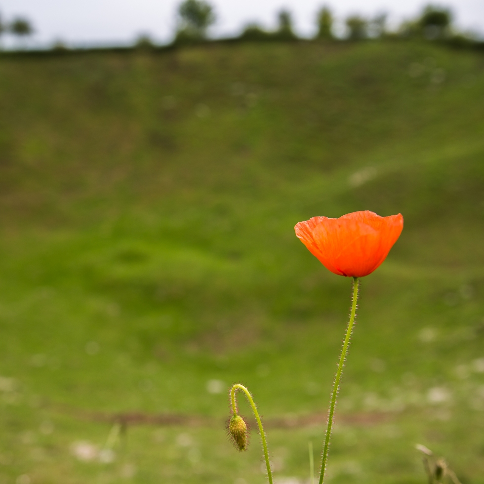 A lone poppy stands at the edge of the Lochnagar Crater