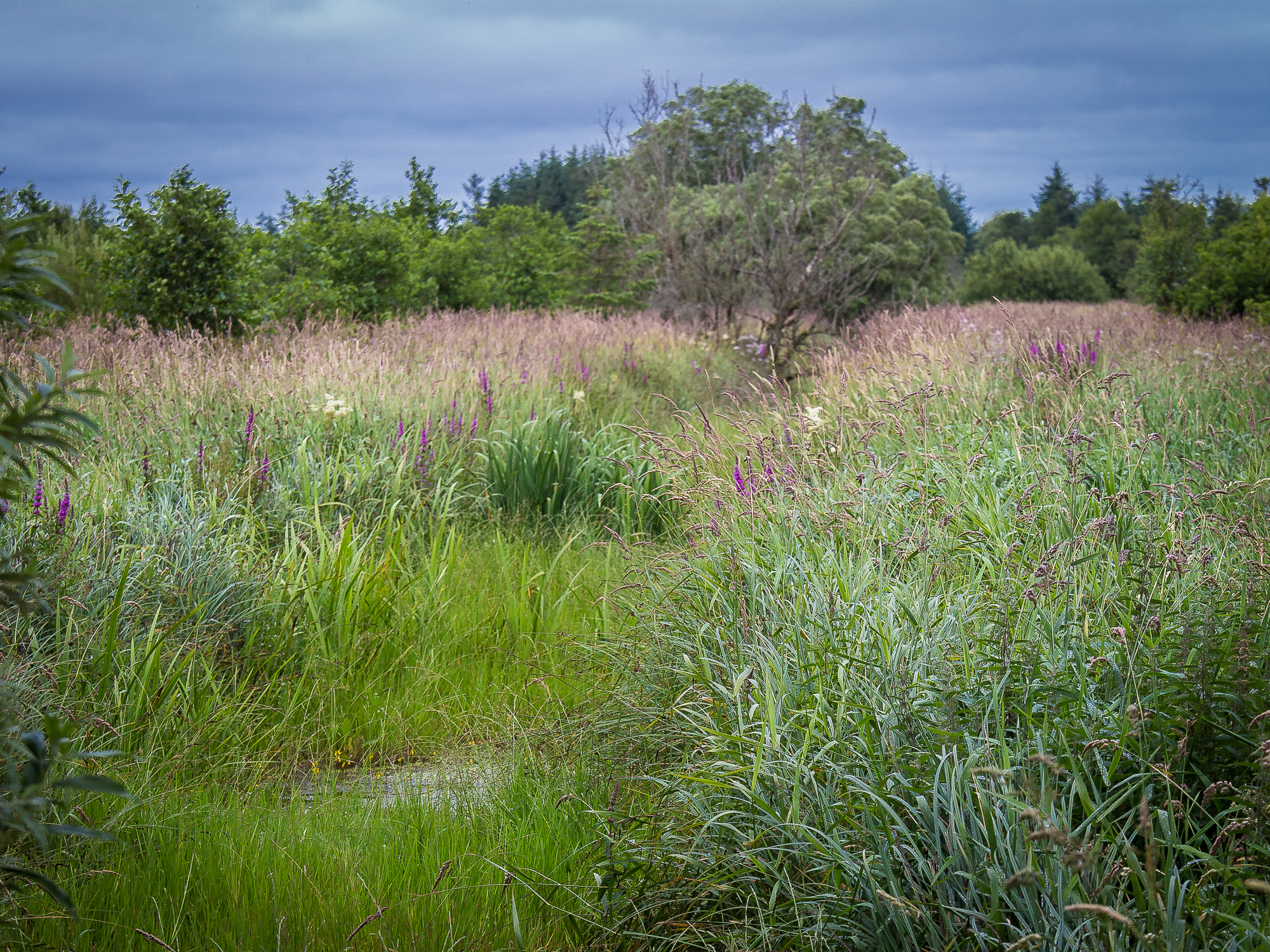 Purple flowers, lush greens, flowers of white all go to make up a bog scene in North Cork