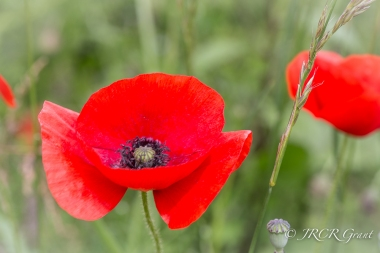 a bright poppy on the field of the Somme Battlefield