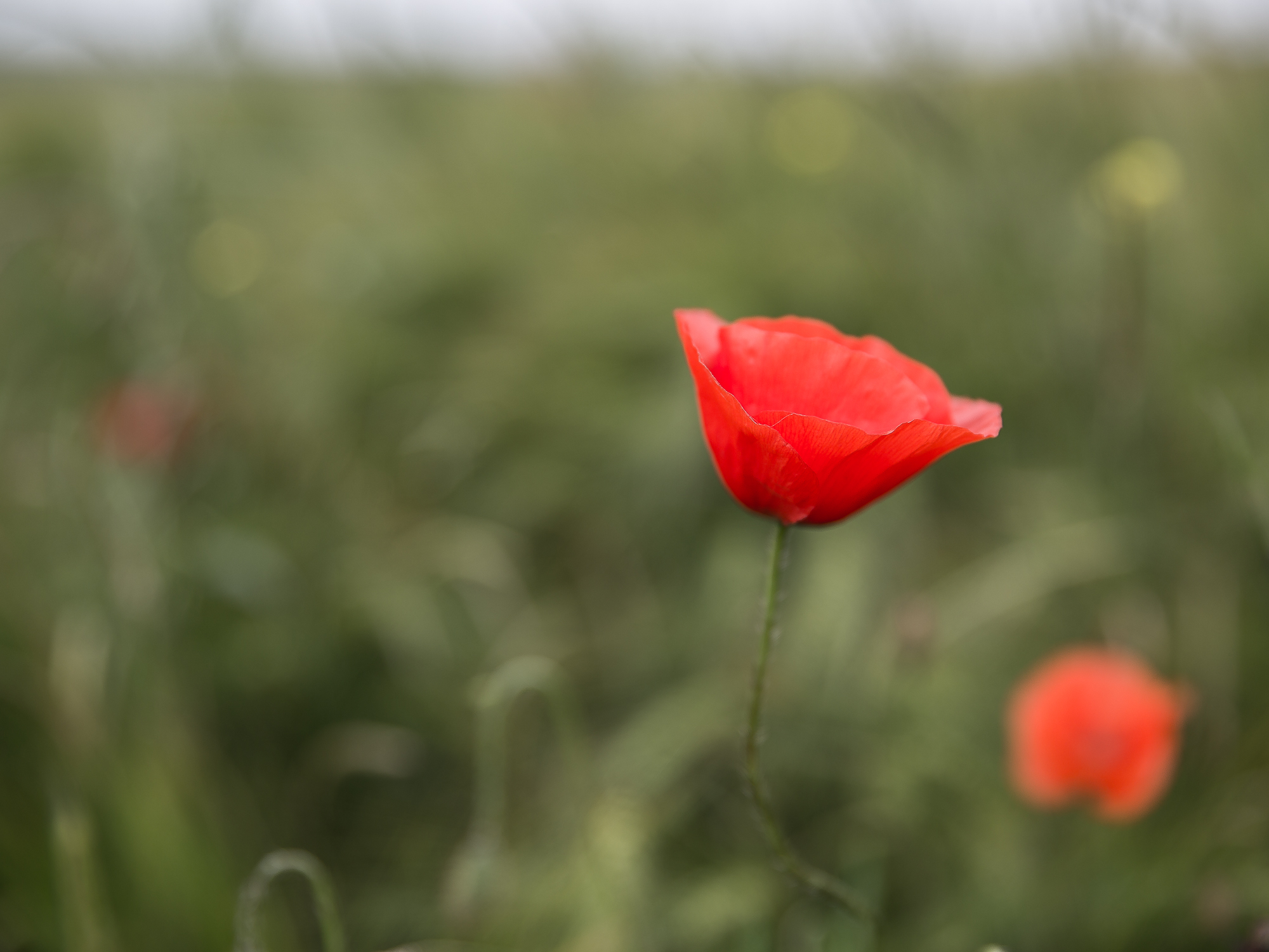 A poppy stands against a green field in the Somme, France
