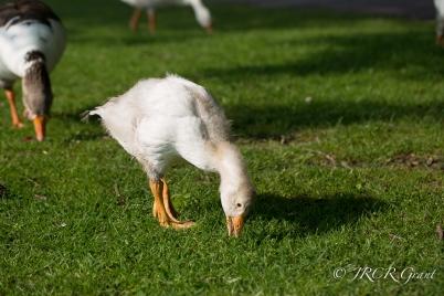 Peck, Peck