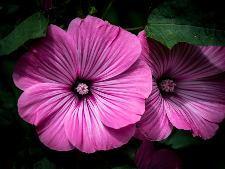 A Bloom of Lavatera