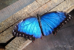 An electric blue butterfly in Chester Zoo