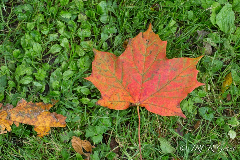 A red sycamore leaf lies on lush green grass