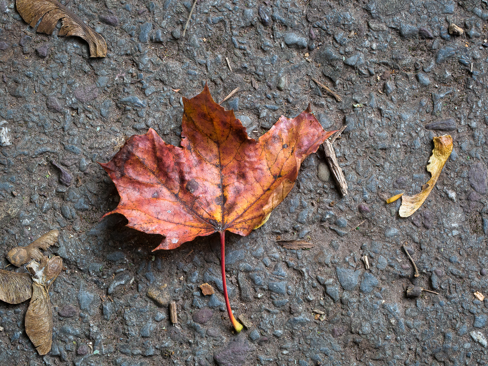 A sycamore leaf, stricken on a cold, hard, tarmac path