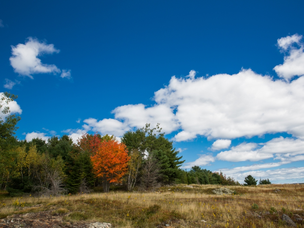 A tree of bright orange stands out, surrounded be its green neighbours - Acadia National Park, Maine Coast