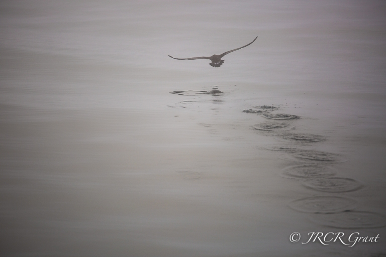A Shearwater bird takes off from the ocean, leaving a trail of ripples in its wake