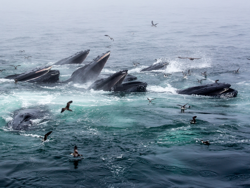 A feeding frenzy of Humpback Whales off Cape Cod