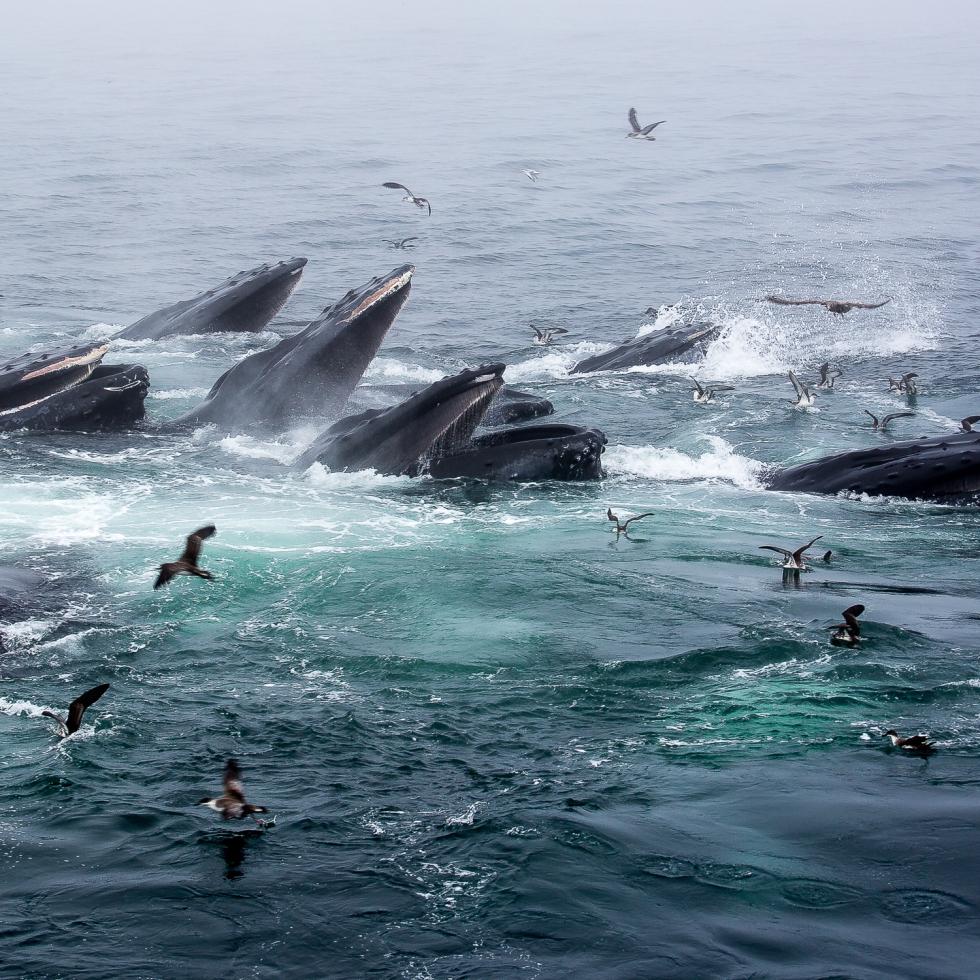 A feeding frenzy of Humpback Whales off Cape Cod