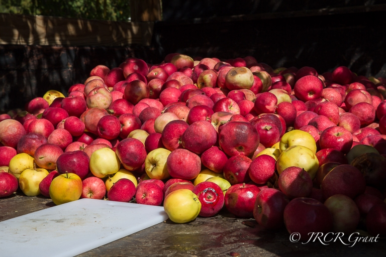 A mound of apples lies on a truck-bed in Chester, Vermont