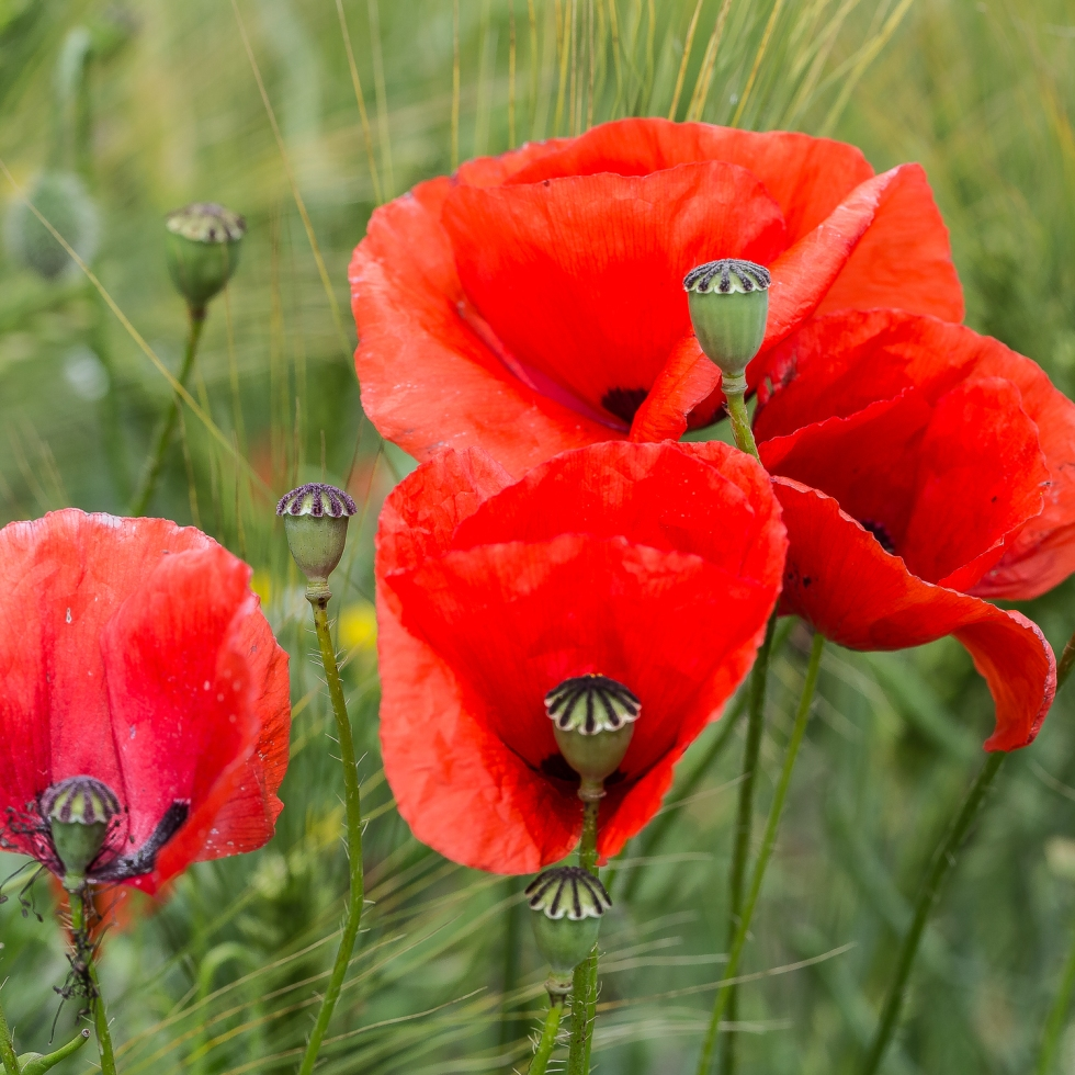 Poppies in a corn field, many dying