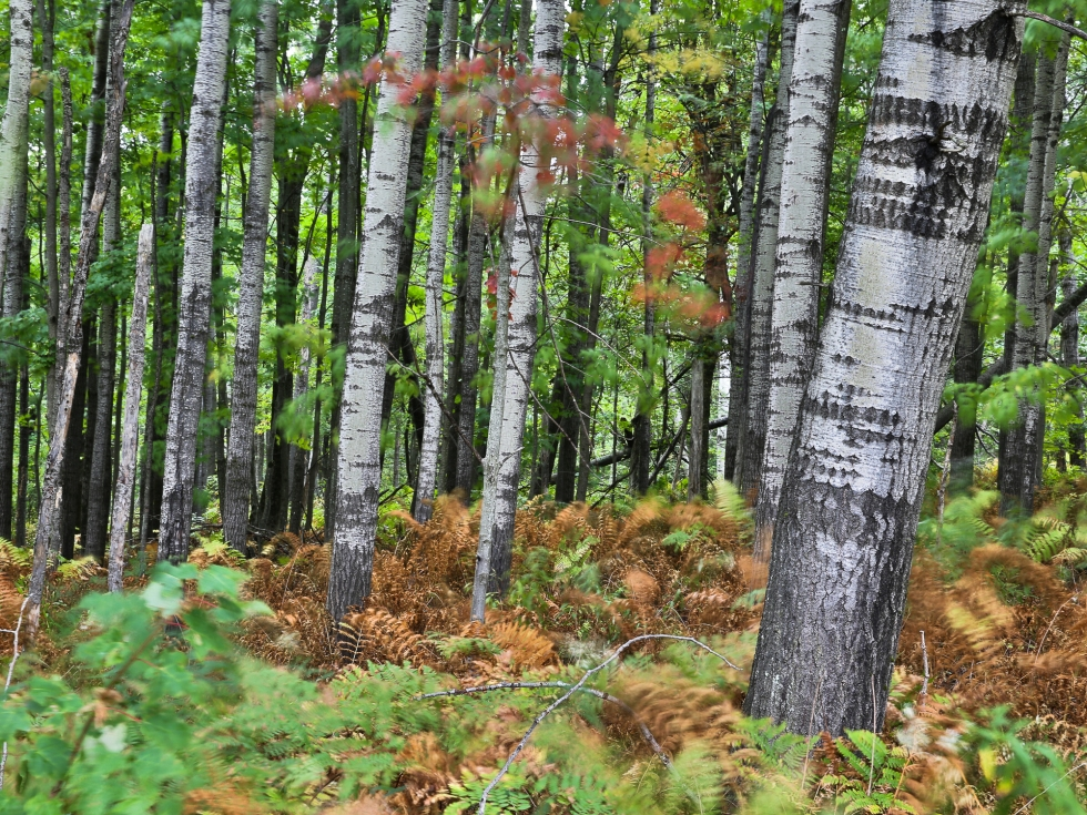 Birch trees in Shrewsbury, Vermont