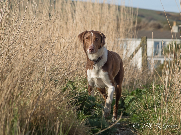 The Hound stalks in a reed bed