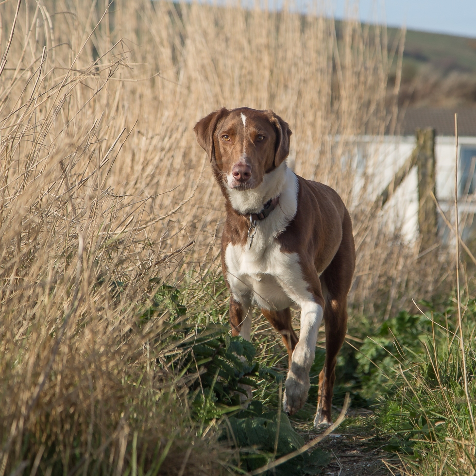 The Hound in reeds bordering a sandy beach