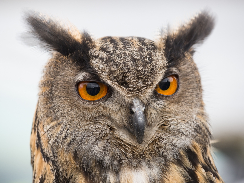 An Eagle Owl up close
