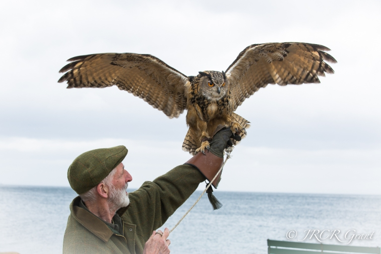 An Eagle Owl spreads its wings on the Isle of Arran