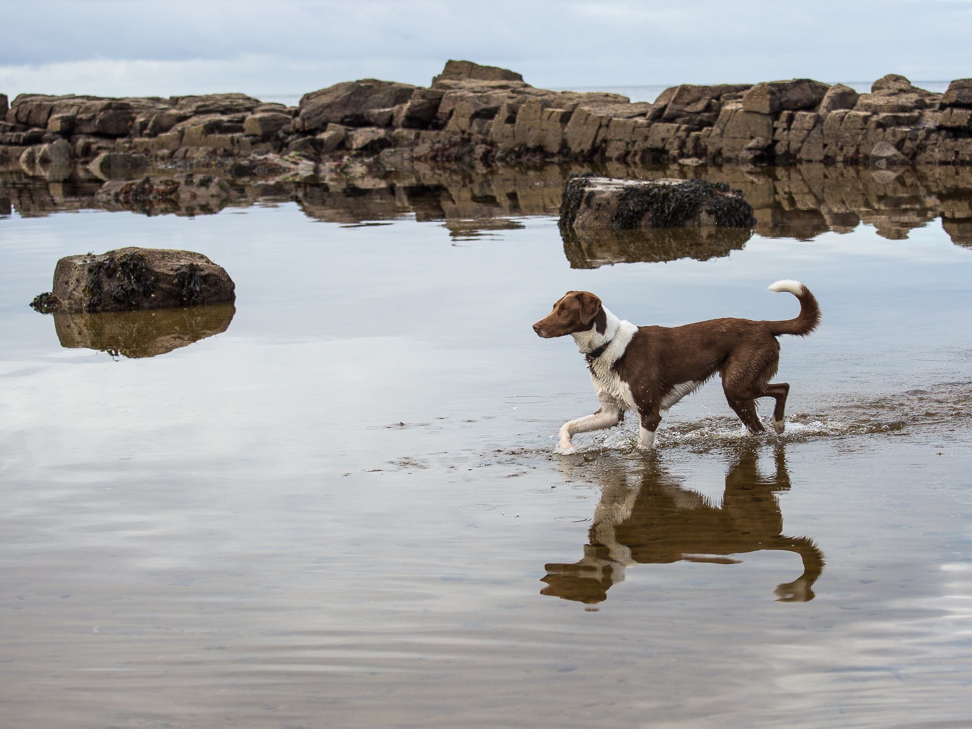 A hound enters the sea, its reflection caught in the moving waters