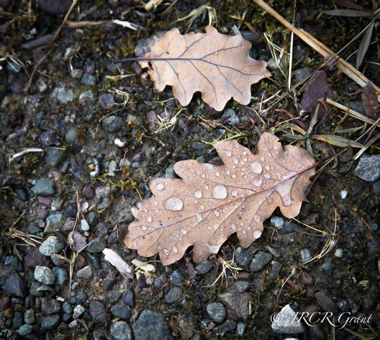 Oak leaves and a gravel track provide stark contrasts