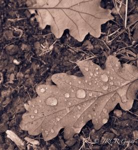 Two fallen leaves provide a contrast in a Killarney wood.