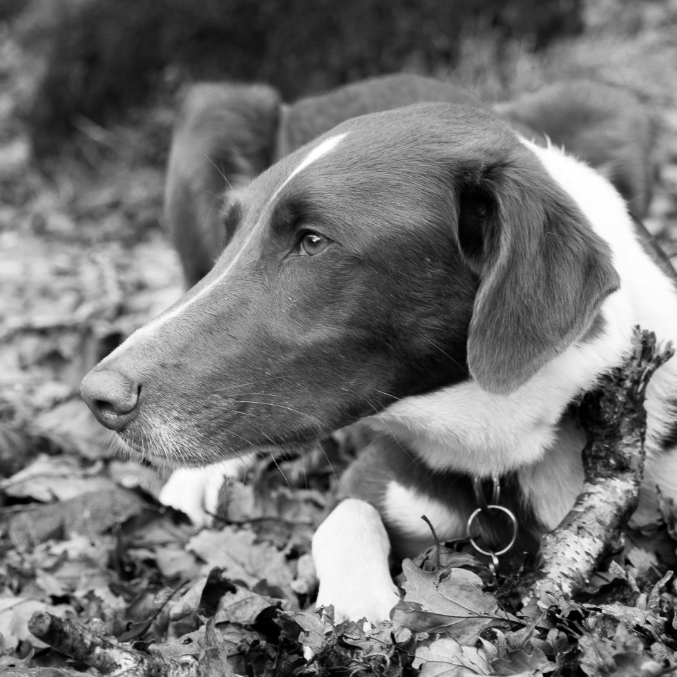 A Happy Hound chews a stick in the autumnal woods