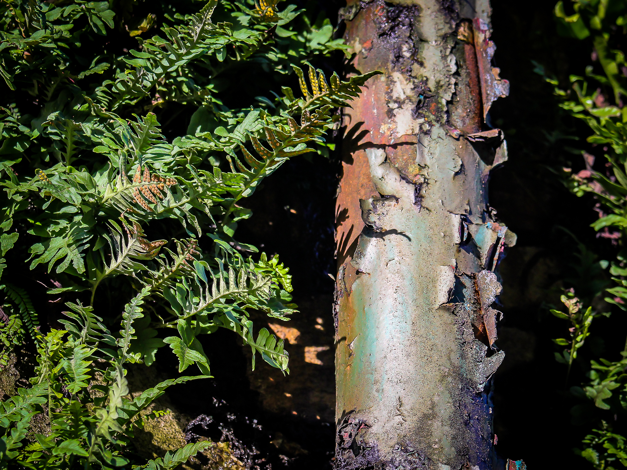 A rusty Victorian drainpipe peels away surrounded by lush ferns