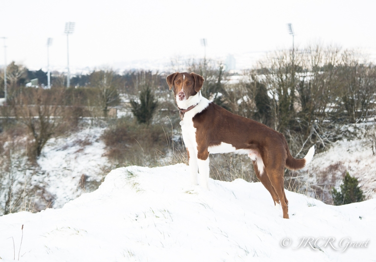 A handsome hound surveys the local quarry from the top of its rim