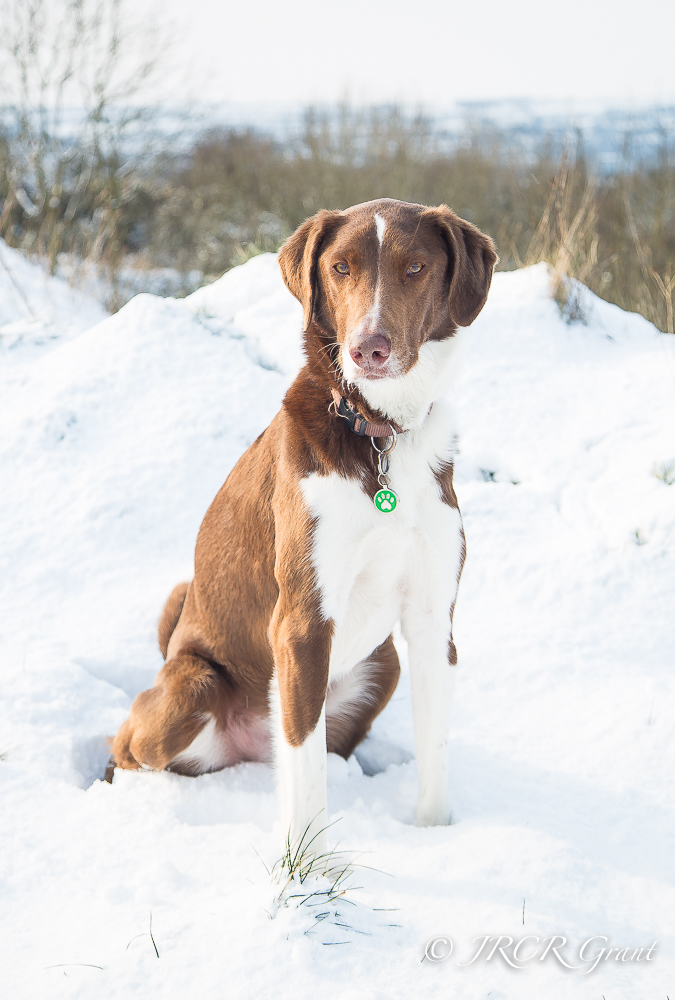 A hound sits in the snow, leaving a trace of his own outline