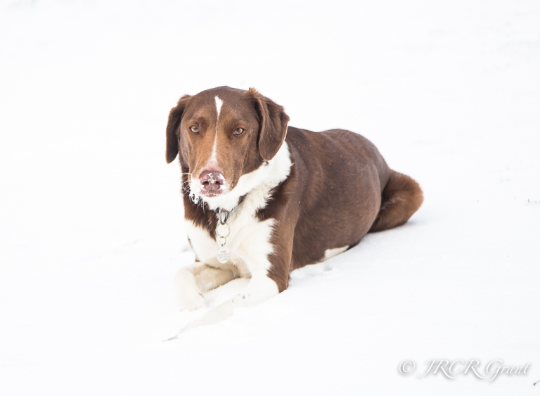 A brown and white hound takes a rest in the snow